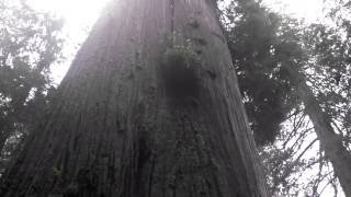 Boy Scout Tree in Del Norte County, CA