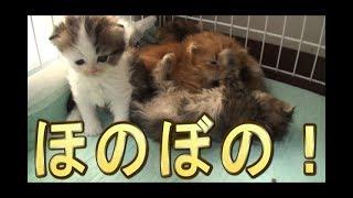【猫好き】もふこ、可愛いすぎる、《funny cats》