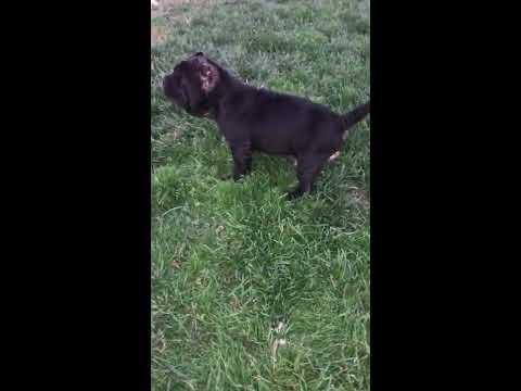 Neapolitan Mastiff Puppy on Guard