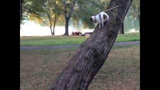 Джек Рассел Дарси залезает на дерево