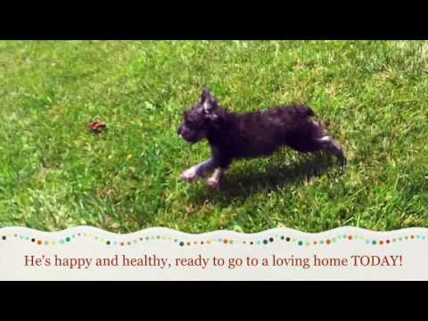 Miniature Schnauzer Puppies for Sale in NC, Greensboro, Raleigh, Charlotte