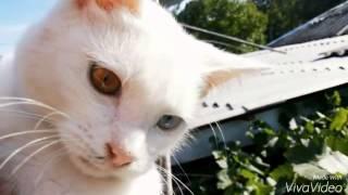 Гетерохромия. Альбинизм. Кошка.