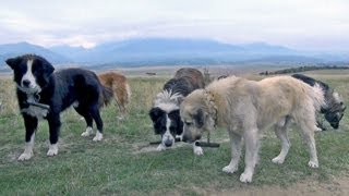 A Conversation With Romanian Sheepdogs Guard Dogs - Wolf Killers