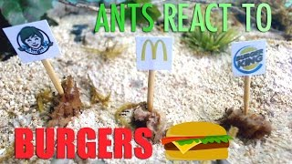 We filmed ants reacting to the top 3 world famous burgers: Wendy's Baconator, McDonalds Big Mac, and Burger King's Whopper. You won't believe what the ...