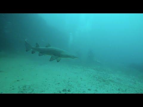 Sydney, Marouba beach, Magic Point - Freediving with Grey Nurse sharks