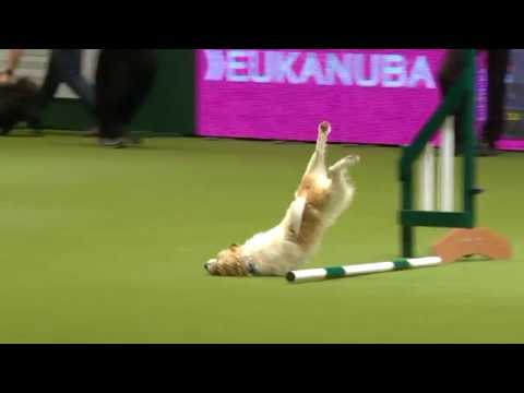 Olly the amazing Jack Russell & Karen at Crufts 2017