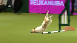 Olly the amazing Jack Russell & Karen at Crufts 2017 thumbnail
