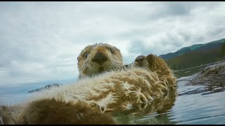 Robot Spy Otter & Spy Bald Eagle Discover How Sea Otters Cope With Mega-waves From Melting Glaciers