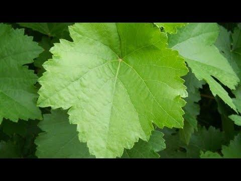 Заготовка виноградных листьев для долмы Виноградные листья на зиму.
