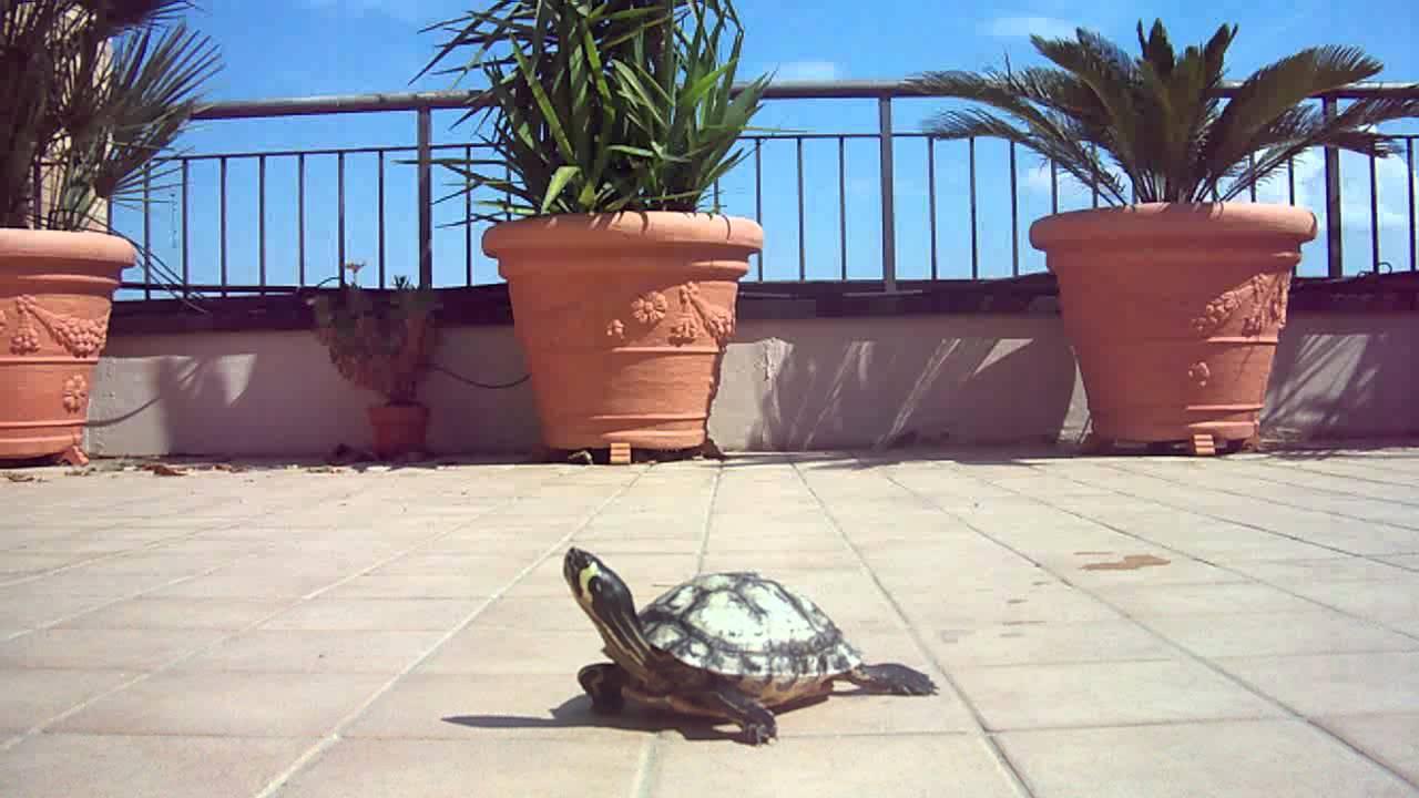 Le mie tartarughe sul terrazzo 2011 youtube for I gatti mangiano le tartarughe