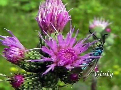 Fiori di montagna video 4 youtube for Foto di zig e sharko