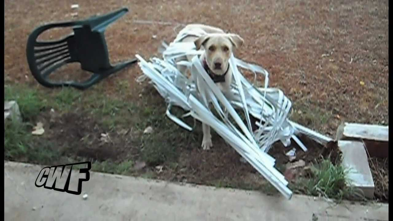 maxresdefault cwf dog leading the blinds youtube