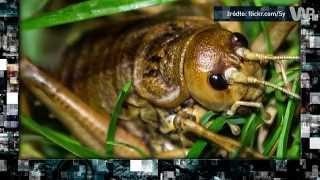 Największe owady świata. Ewolucja o nich zapomniała [Pixel]