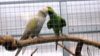 Попугаий Кисс