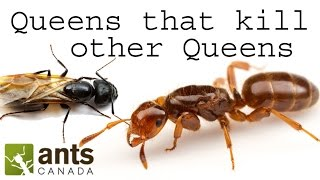 What is a Social Parasite Ant?