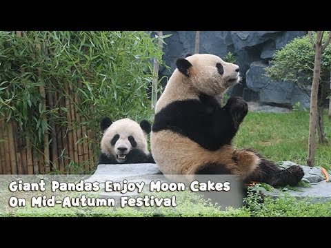 Giant Pandas Jiao Ao And Shuang Xiong Enjoy Moon Cakes On Mid-Autumn Festival | iPanda