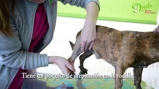 Pierna dolor sin pequeño cojeando la perro