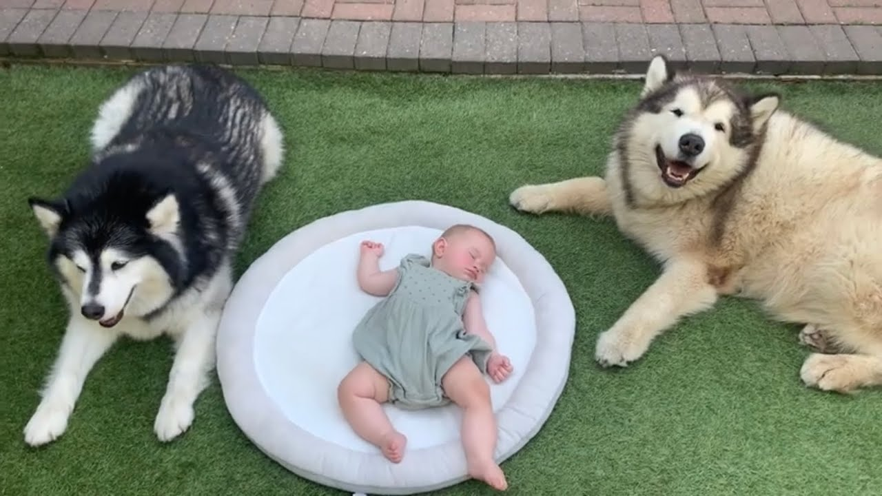 Giant Fluffy Guard Dogs Protect Sleeping Baby (Cutest Video Ever!!)
