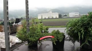 Kompakt wachsende Wacholdersorten - Resistent gegen Birnengitterrost