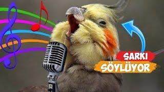 Şarkı Söyleyen Kuş Videoları Derlemesi   Sultan Papağanları