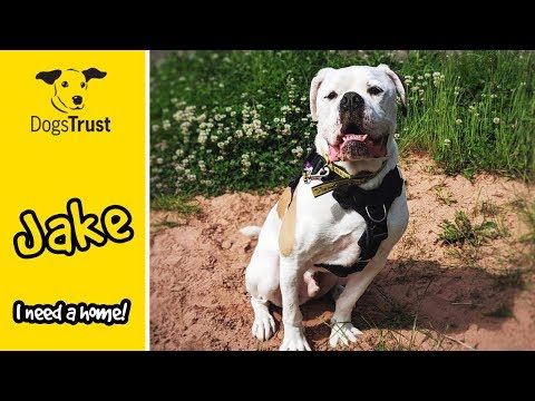 Jake the American Bulldog is a Big Strong Sweetheart! | Dogs Trust Loughborough