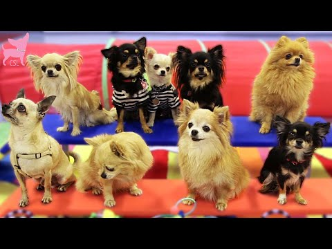 Cute Chihuahua Dogs Show Fun Tricks!