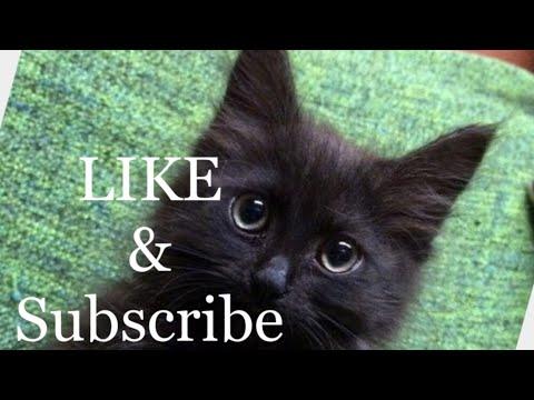 Bombay kitten plays in mirror then kitten meows