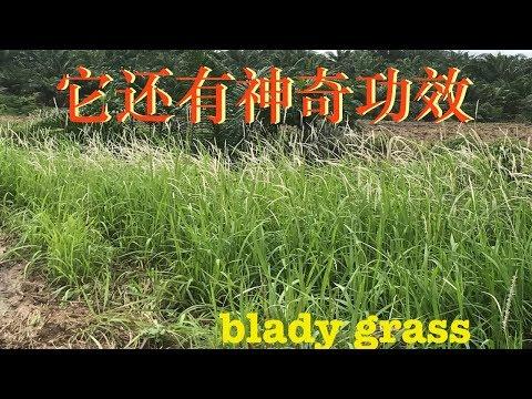 上帝赐给人类的避难草.(白茅草)Cogon grass~(Imperata cylindrica)。Manfaat Alang - Alang .