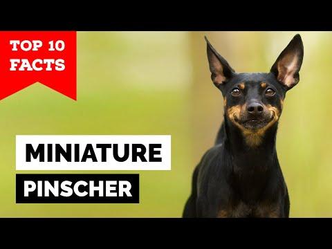 Miniature Pinscher  Top 10 Facts