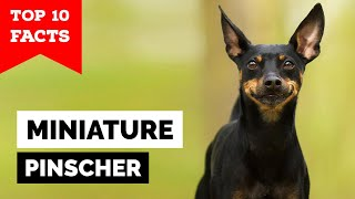 Miniature Pinscher  Top 10 Facts