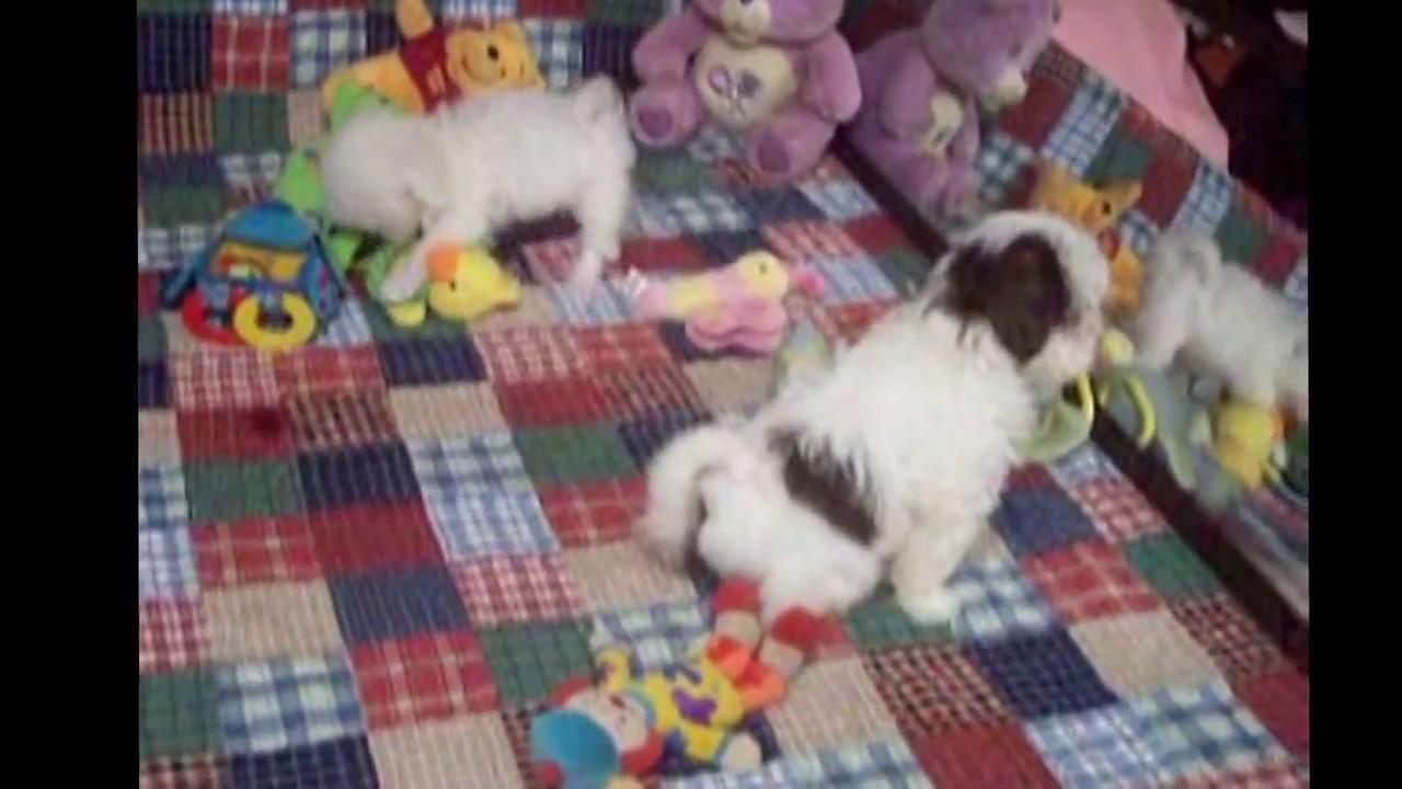 Maltipoo, Maltipoo puppies, puppy for sale