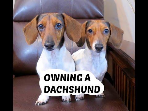 OWNING A DACHSHUND!