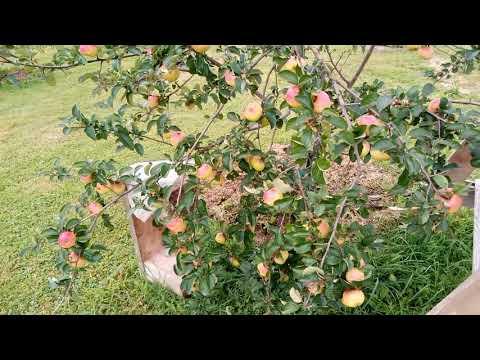 Сорт яблони Свежесть надёжный, иммунный к парше.