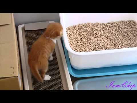 仔猫(チップ)の初めてのトイレ!Kitten (chip) For The First Time Toilets