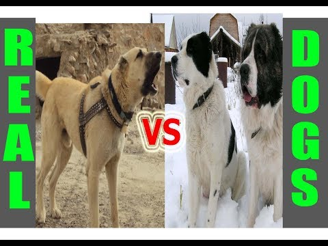 Alabai vs Afghan Kuchi Dog - Fight to the death..!