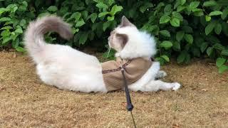 My Holy Birman cat finds something interesting!