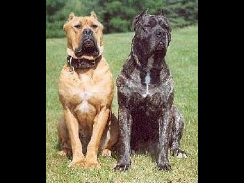 boerboel vs cane corso which one is better youtube. Black Bedroom Furniture Sets. Home Design Ideas
