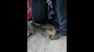 Кошачий оргазм! моя кошка озверела от шетки.
