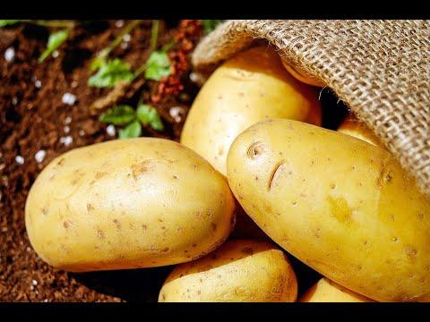 Надо ли поливать картофель ?