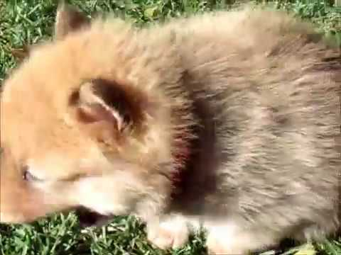 Finnish spitz Puppies 4 weeks old