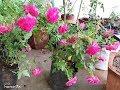 यह गुलाब का पौधा देगा ढेरो फूल  HOW TO GROW KASHMIRI ROSE AND GET MAXIMUM BLOOMS