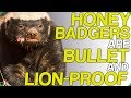 Honey Badgers Are Bullet And Lion-Proof (Cute but Vicious Animals)
