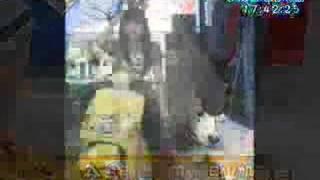 """人稱""""微笑狗""""的薩摩耶犬...在台灣並不常見...但是那雪白身軀像極了的縮..."""