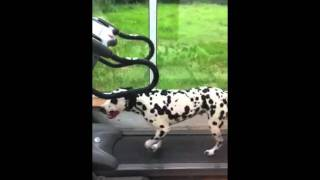 Dalmatian On A Treadmill