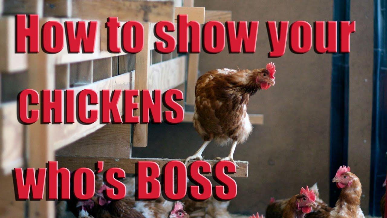 How to Show Chickens forecast