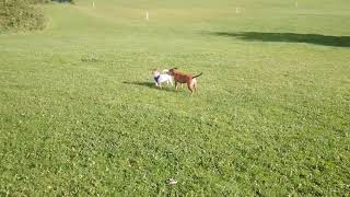 Staffordshire bull terrier annoying Jack Russell Terrier funny dogs