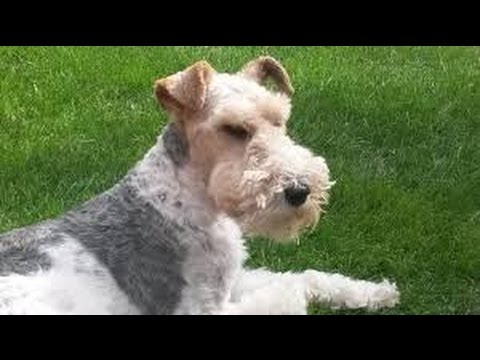 Fox Terrier Wire - Dog Breed