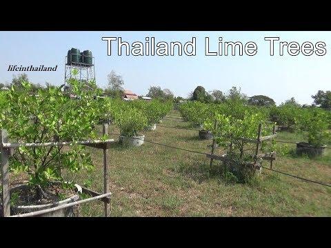 Rural Thailand lime Orchard/Lime farm Tour.