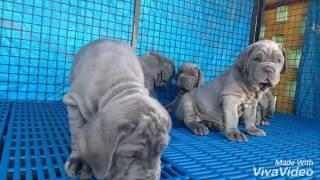 Neapolitan Mastiff Ram's  top quality puppies in Bangalore