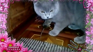 Вислоухий шотландский котенок . Породы кошек.